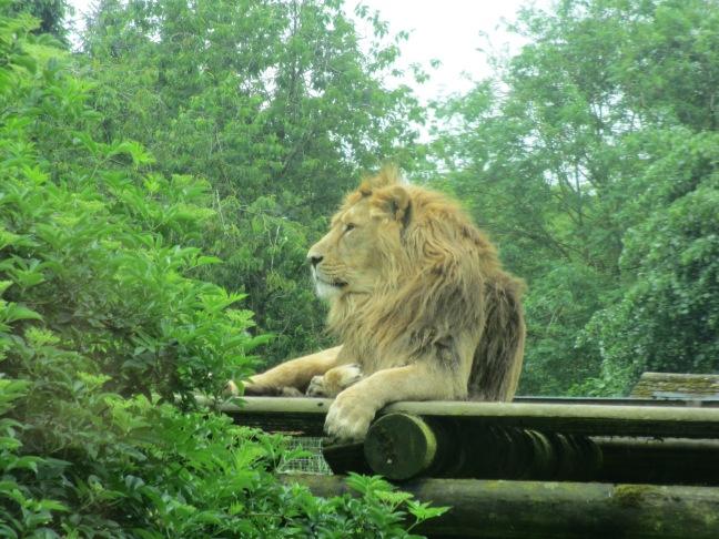 Lion at Cotswolds Wildlife Park